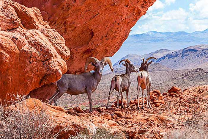 Valley  of Fire, State Park, Nevada, Goat, Goats