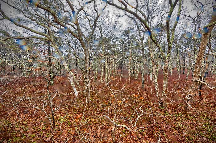 Forest in the Abstract, Cape Cod, Truro, Provincetown, Woods, Forest, Abstract