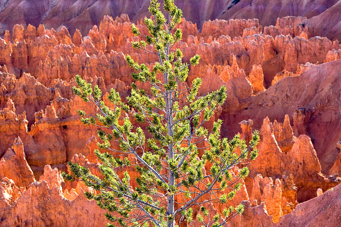 Tree and Hoodoos in Bryce Canyon, Utah.