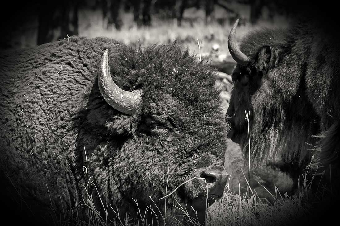 A bison, buffalo, in a field.