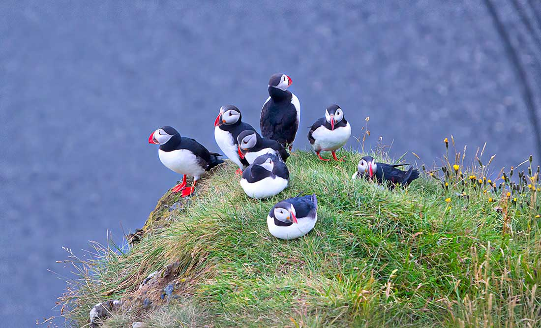 Puffin birds in Iceland.